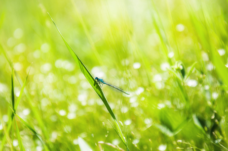 Blue dragonfly on the green grass. Summer nature. Macro image with small depth of field