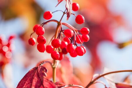 guelder rose berry: Macro image of red viburnum berries, small depth of field. Beautiful autumn nature