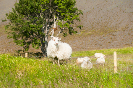 shepherd sheep: White sheep on the green field. Beautiful summer landscape, rural scene. Southern Iceland Stock Photo