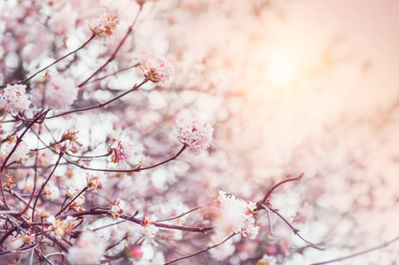 cherry: Blooming tree with pink flowers at morning sunshine. Soft focus. Spring blossom background
