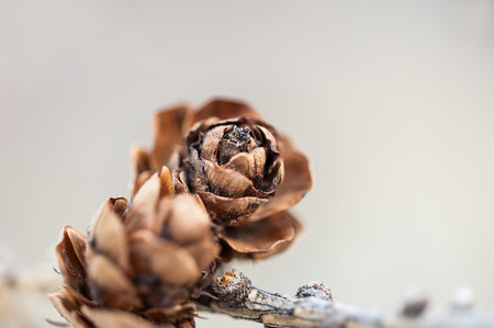macro image: Macro image of the fir cone, small depth of field.