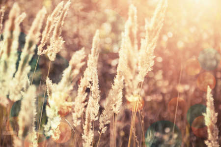 fall landscape: Forest meadow with wild grasses at sunset. Macro image with small depth of field. Vintage effect