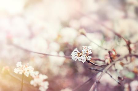 landschap: Bloeiende boom met witte bloemen. Soft focus. De lente bloeit achtergrond Stockfoto