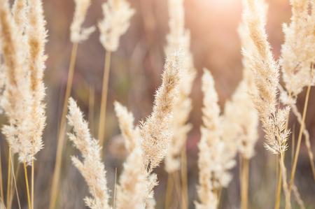 landschap: Bos weide met wilde grassen bij zonsondergang. Macro beeld met een kleine scherptediepte. Stockfoto