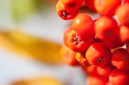 rowan tree: Rowan tree with red berries. Macro image with small depth of field. Stock Photo