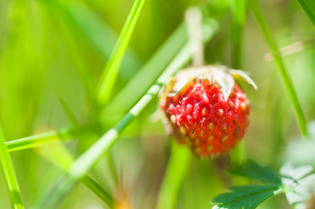 macro image: Wild strawberry in a forest. Macro image
