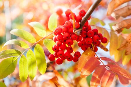 rowan tree: Autumn rowan tree with red berries and colorful leaves. Selective focus Stock Photo