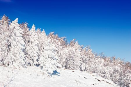 ural: Snow-covered trees against the blue sky. Beautiful winter landscape
