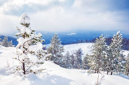 Snow covered trees in winter forest. Stock Photo