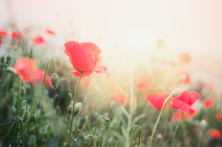 Red poppy flowers in a field at sunrise. Vintage filter, retro effect