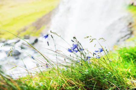 Bluebells near the waterfall. Beautiful summer landscape