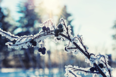 Hoarfrost on the plants in winter forest. Macro image, vintage filter.