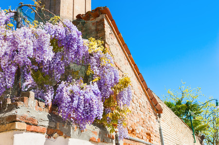 Wisteria flowers on the ancient house. Venice, Italy Stock Photo