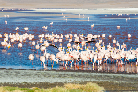 avaroa: Pink flamingos in Laguna Colorada, Altiplano, Bolivia. Selective focus Stock Photo