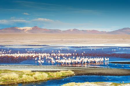 Pink flamingos in Laguna Colorada at sunset, Altiplano, Bolivia