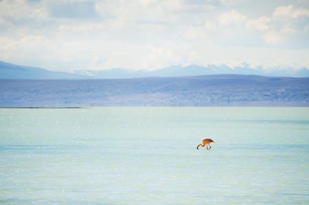 avaroa: Flamingo in the high-altitude lagoon on the plateau Altiplano, Bolivia Stock Photo