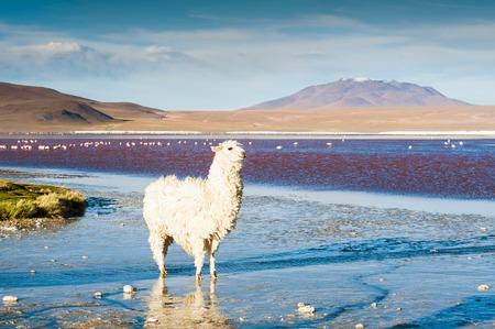 avaroa: White alpaca on the Laguna Colorada at sunset, Altiplano, Bolivia. Selective focus