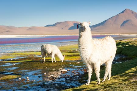 avaroa: White alpaca on the Laguna Colorada, Altiplano, Bolivia.