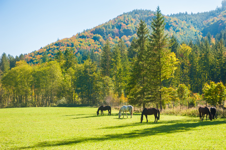 Horses on the green field in Austrian Alps. Autumn landscape Stock Photo