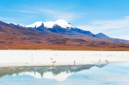 avaroa: Pink flamingo on the Celeste lagoon and volcano view on plateau Altiplano, Bolivia