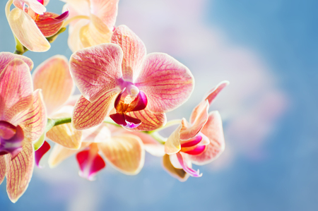 Red orchid flower on the blue background. Beautiful spring nature