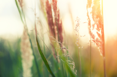 Wild grasses in a forest at sunset. Summer nature background Stok Fotoğraf