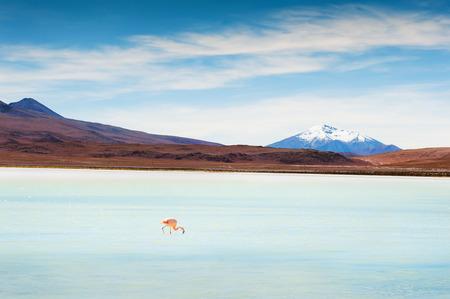 Pink flamingo on the Celeste lagoon, plateau Altiplano, Bolivia