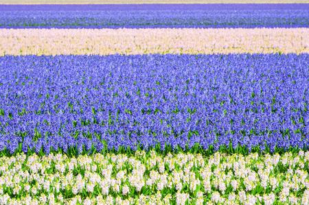 Fields of blooming hyacinth flowers in spring. Selective focus