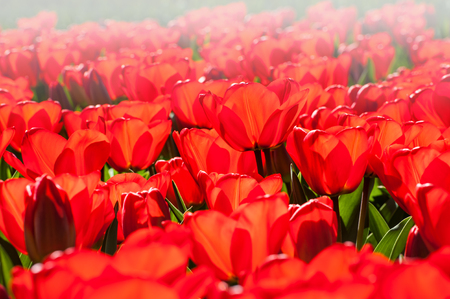 Blooming red tulips close up. Selective focus. Beauriful spring nature