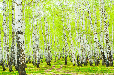 Birch trees with green leaves in the spring forest.  Stock fotó