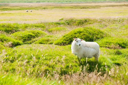 White sheep on the green field, southern Iceland. Beautiful summer landscape.
