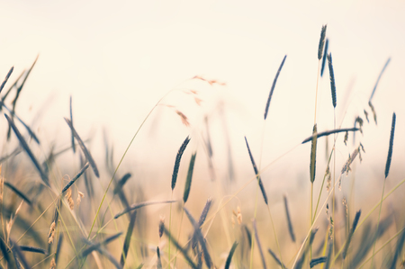 Wild grasses in a field at sunset. Shallow depth of field, vintage filter 免版税图像