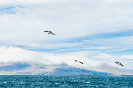 Seagulls soaring over Atlantic ocean near the coast of Reykjavik, Iceland 版權商用圖片