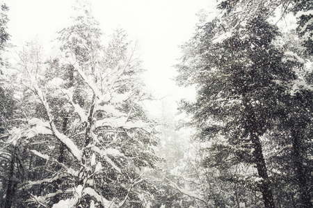 Snow-covered trees in winter forest during snowfall. Beautiful winter landscape 免版税图像