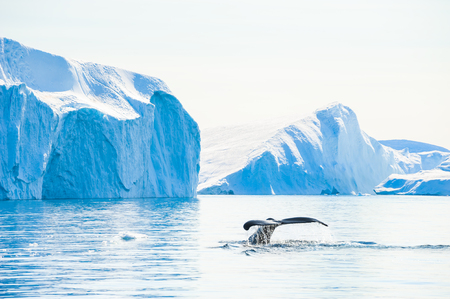 Humpback whale dives showing the tail near the icebergs in Ilulissat icefjord, Greenland