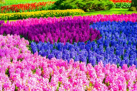 Blooming hyacinth flowers in Keukenhof flower park, Netherlands