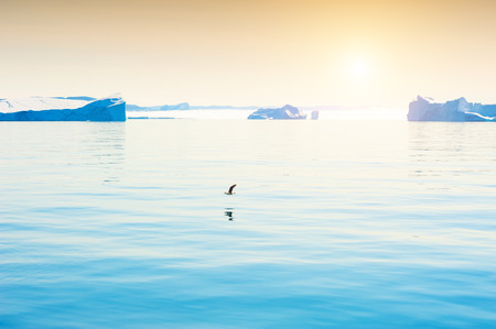 Seagull flying over the water near the icebergs in Ilulissat icefjord, western Greenland