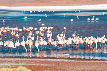 Pink flamingos on Laguna Colorada at sunset, Altiplano, Bolivia. South America wildlife