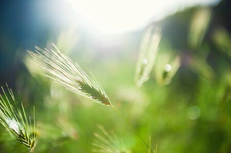 Wild green grasses in the morning sunlight. Macro image. Beautiful summer nature background Stock Photo