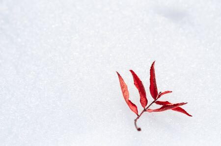 Autumn red leaf on the snow. Macro image. Beautiful winter background.