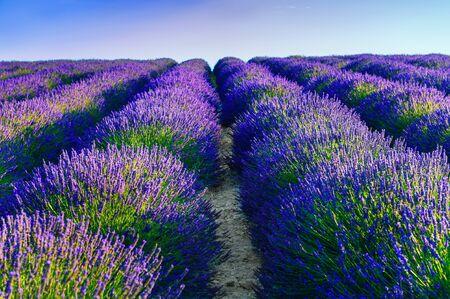 Lavender fields landscape at sunset near Valensole, Provence, France.