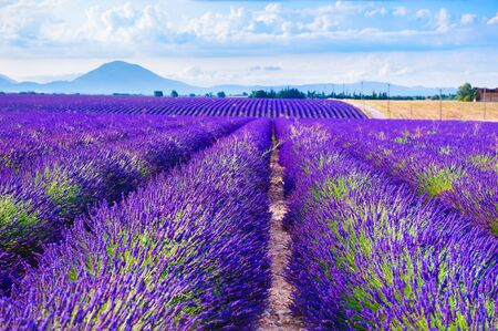 Lavender fields near Valensole, Provence, France. Beautiful summer landscape