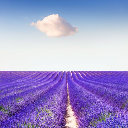 Lavender fields and the blue sky with white cloud in Provence, France. Beautiful summer landscape. Creative nature background