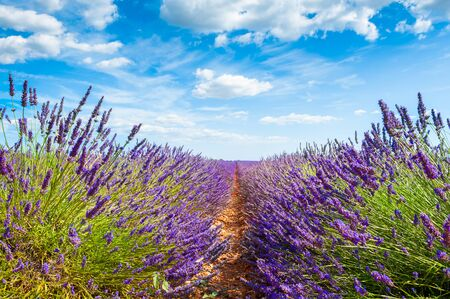 Lavender fields and the blue sky with clouds. Valensole, Provence, France. Beautiful summer landscape