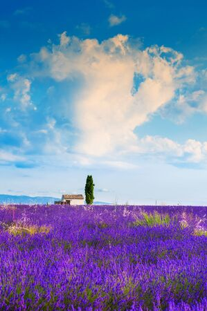 Lavender fields and the blue sky with clouds at sunrise near Valensole, Provence, France.