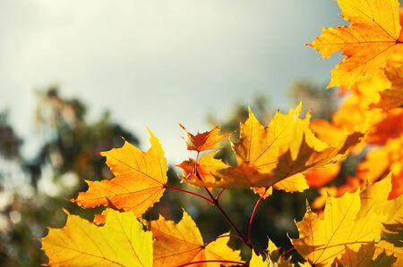 Gelbe Herbstahornblätter in einem Wald gegen den Himmel. Schöner Herbstnaturhintergrund Standard-Bild