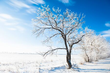 Trees in white hoarfrost against the blue sky in winter sunny day. Beautiful winter landscape. Banque d'images