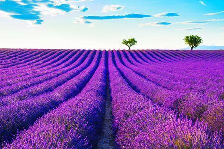 Campos de lavanda cerca de Valensole, Provenza, Francia. Hermoso paisaje de verano al atardecer. Flores de lavanda florecientes Foto de archivo