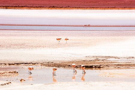 Pink flamingos on high-altitude lagoon in Altiplano, Bolivia. South America wildlife