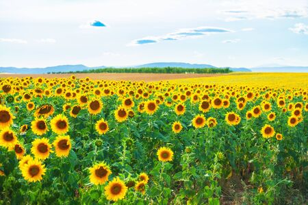 Field of ripe sunflowers in Provence, France. Beautiful summer landscape. Selective focus Imagens